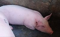 Também foi suspenso, por tempo indeterminado, a aglomeração de animais da espécie, como em feiras de animais espalhadas pelo estado.