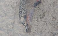 Pescador flagra homem esquartejando golfinho no Pontal da Barra; PF vai investigar