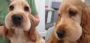 Cãozinho leva picada de abelha no rosto e deixa usuários do Twitter apaixonados