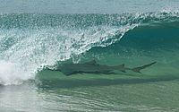 Tubarão é fotografado em onda na praia em Fernando de Noronha