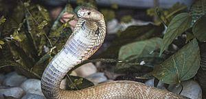 Cobras Naja e Víbora-verde serão transferidas ao Butantan nesta terça-feira