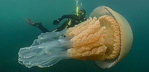 Vídeo: bióloga nada ao lado de água-viva gigante na Inglaterra