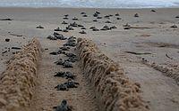 Mais de 370 filhotes de tartaruga-marinha nascem em praia de PE