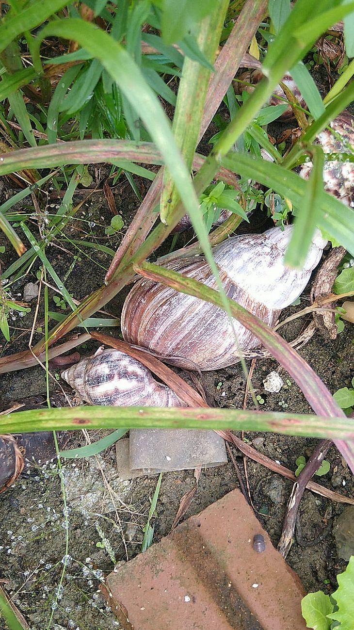 Caramujo africano aparece com frequência em períodos chuvosos e também costumam subir e descer muros
