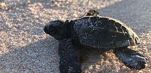 Filhotes de tartarugas são soltos no mar de Riacho Doce durante transmissão ao vivo