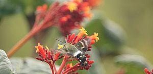 Mariposa dribla biólogos e predadores ao se passar por beija-flor
