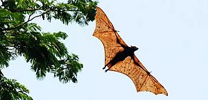Este é o morcego-dourado-filipino, que pode chegar ao tamanho de um ser humano