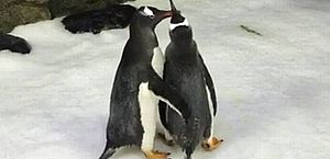 Casal de pinguins gays vive na Austrália