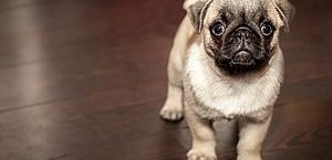 Como saber se o seu cãozinho tem Alzheimer?