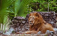 Leão do Parque de Dois Irmãos morre por complicações do câncer