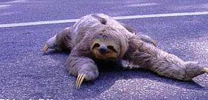Bicho-preguiça é flagrado no meio de rodovia no Litoral Norte de Alagoas