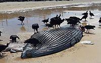 Filhote de baleia jubarte é encontrado morto em Porto Seguro-BA
