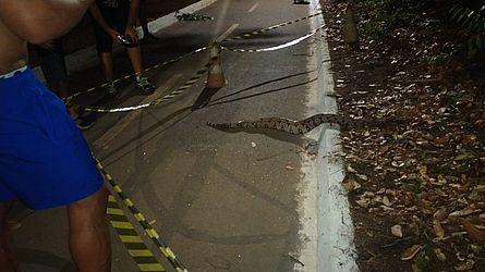 Jiboia devorou iguana no Parque Cesamar, em Palmas