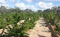 Operação desarticula 'indústria' de maconha em Canudos, na Bahia